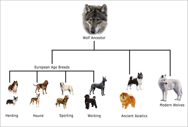 Evolutionary Tree of Dogs This is The Evolutionary Tree